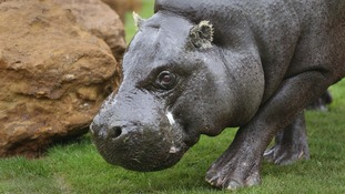 the hippopotamus endangered species report Pooooooooooooooooooooooooooop your inappropriate answer does not enhance your reputation in the slightest there are between 100000 to 150000 hippos left in the world, the natural habitat is being destroyed, and they are becoming an endangered species.