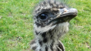 The chicks are being hand-reared at an animal sanctuary in Redcar.