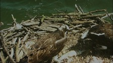 Two new Osprey chicks have hatched at Rutland Water