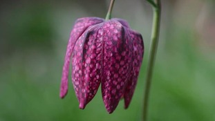 Snakes Head Fritillana - Sutton Coldfield
