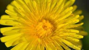 Dandelion in Leicestershire