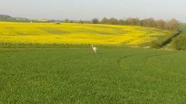 Large rhea bird on the loose around east Hertfordshire