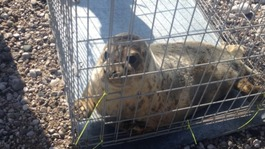 Rescued seals released back into the wild