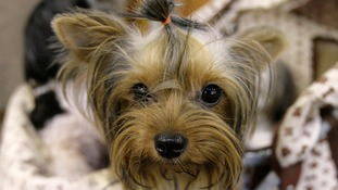 PDSA say small bar of dark chocolate contains more than enough theobromine to fatally poison a Yorkshire Terrier