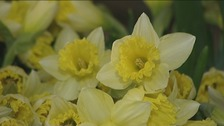 Specially grown daffodils for the jubilee parade