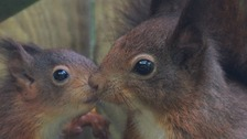 'Supermum' squirrel produces 48th Kitten