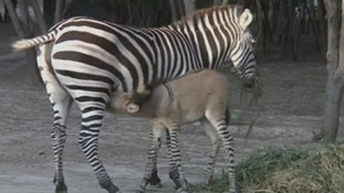 Khumba the zonkey and her mother, Rayas, at the zoo in Mexico.