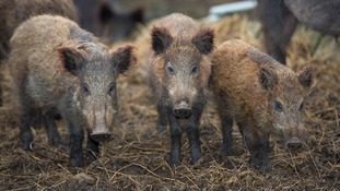 Search continues for escaped herd of wild boar