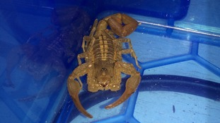 'Potentially dangerous' scorpion gives passengers at Victoria station a fright