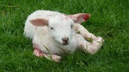 24 Lambs die in series of dog attacks