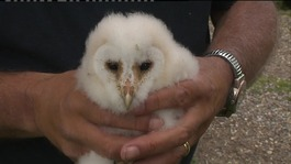 A bad year for barn owls, but owlets show signs of success