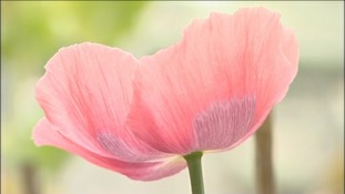 Poppies to treat cancer