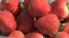 Strawberries are set for a bumper summer.