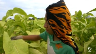 A boy harvests tobacco in a field in the United States.