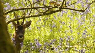 stag in bluebells in wood