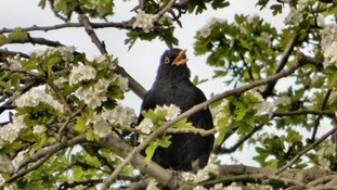 blackbird singing in blossoms