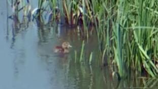 Crane chick marks start of first wild generation for western Britain