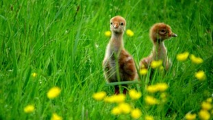 Two crane chicks hatched at Slimbridge