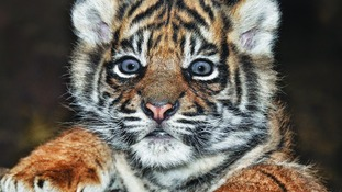 A Sumatran tiger cub at Flamingo Land, Malton, North Yorkshire