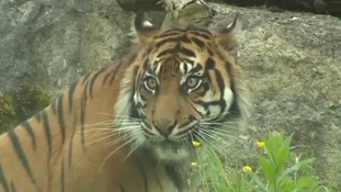 Sumatran tiger at Flamingo land.