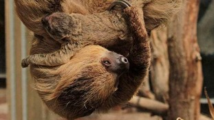 The surprise baby sloth.