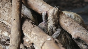A baby sloth, the latest arrival at London Zoo.