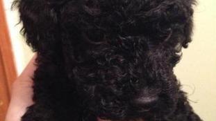 Seven Poochon puppies stolen in Doncaster