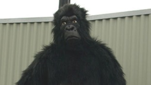 The man was wearing a gorilla suit like this one when he was shot with a tranquiliser gun.
