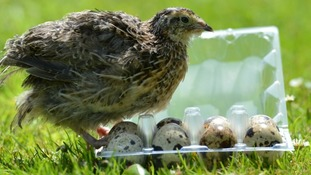 Rose the young quail emerged from one of a batch of eggs