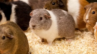 Randy, centre, pictured alongside some of the female guinea pigs he mated with