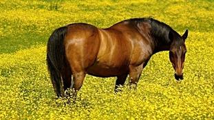 horse in buttercups
