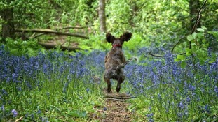 back view of dog jumping through the bluebells and playing