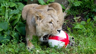 An Asian lioness at London Zoo plays with football on the opening day of the World Cup.