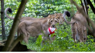 Lionesses at the zoo appear to be supporting England in the tournament.