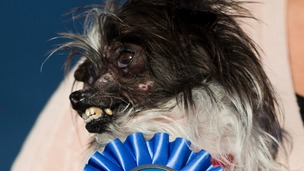Peanut, a mutt dog from Greenville, North Carolina, won the 2014 World's Ugliest Dog contest in Petaluma, California.