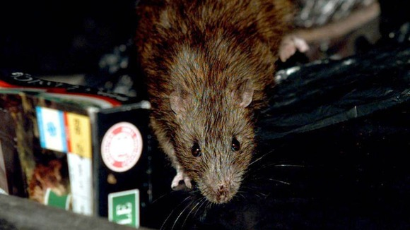 Rats across Britain are increasingly becoming resistant to poison.