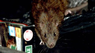 Rats across large swathes of Britain have evolved to withstand poison.