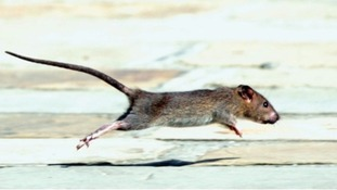 Invincible super rats sweeping across the UK