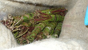 The chewing drug Khat is banned in much of Europe.