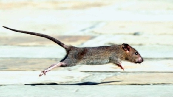 The genetic tests have shown that rodents have now developed a mutation.