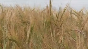 Research into drought resistant barley