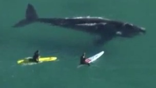 Surfers have been accused of harassing the whale at Freshwater Beach, Sydney.