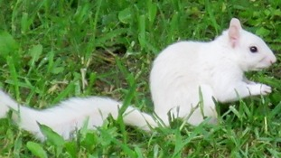 Photographer spots ultra-rare white squirrel with 'sinister black eyes'