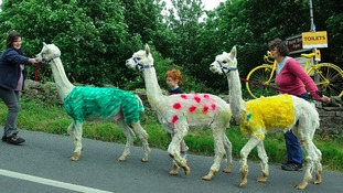 Alpacas won't be the only things in these colours for long in Reeth