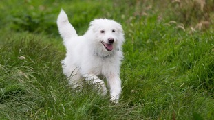 White lurcher Dolly was named after Dolly Parton when she was left at Glastonbury festival.