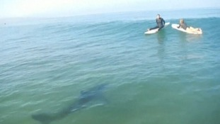 The great white shark is seen approaching paddleboarders in Southern California.