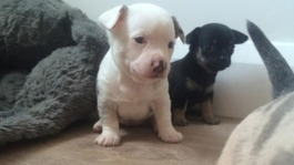 Owner of stolen chihuahua puppies reunited with three