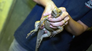 Thirteen iguanas were rescued, but one was found to have died in transit.