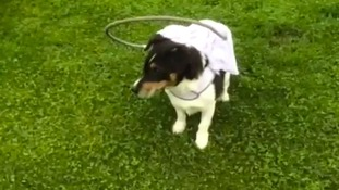 Jumping through hoops: Basil with his new headgear