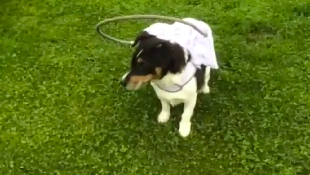 Jumping Through Hoops Blind Dog Given Special Gadget To